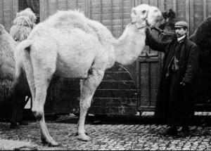 Bostock camel
